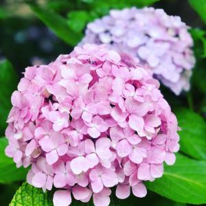 紫陽花の季節ですね♡