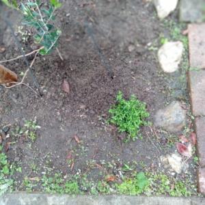 植えたもの。