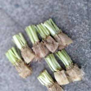 食べたら植える、三つ葉。