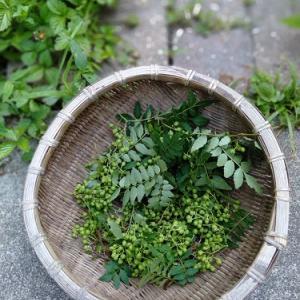 山椒の実、収穫。