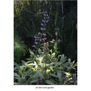 クラリーセージ/art farm & gardenの庭
