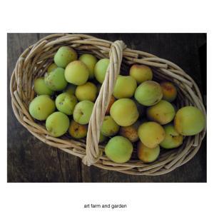 梅の収穫/art farm & gardenの庭