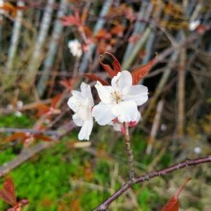 笑いが逝った・・・山桜