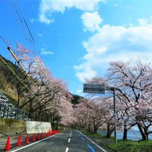 桜ばかりですが・・海津大崎の桜