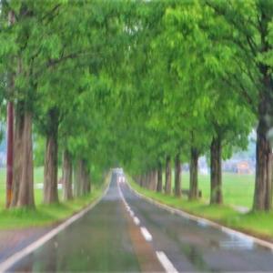 小雨の木曜日・・メタセコイヤ並木