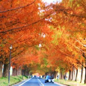 紅葉・・メタセコイヤ並木・・季節の琵琶湖