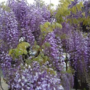 日曜日~晴れ~薄紫