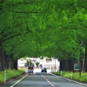 昭和の日・・・・メタセコイヤ並木新緑