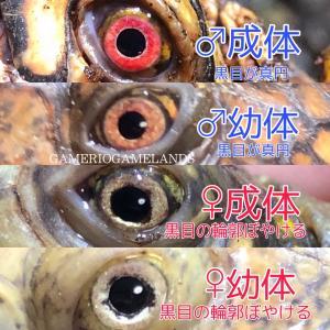 トウブハコガメの黒目輪郭雌雄判別論(仮説)