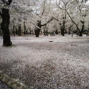 埼玉県大宮公園きょうの桜