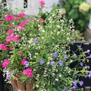 夏が終わったらやろうと思っていたこと《ガーデニング》シマトネリコを地植えから鉢植えに