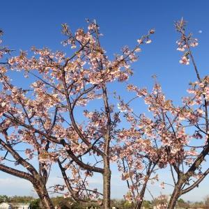 吉田公園はチューリップだけではない