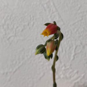 コロナワクチン1回目 と、大和姫のお花