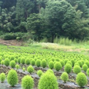 伊賀野の花畑(緑のコキア)