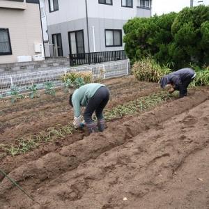 玉ねぎを植えました