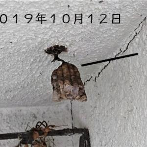 10月12日アシナガバチの巣は?