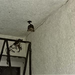アシナガバチの巣、女王バチのいない巣、誰も居なくなった