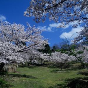 自粛、桜。 @王子が岳