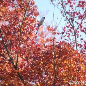 エナガと十月桜