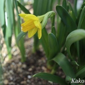 黄色いスイセンが咲きました