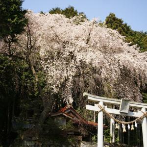 行波のしだれ桜