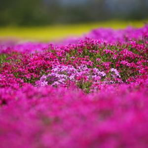 春爛漫 世羅高原