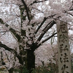 神光院の穴場桜