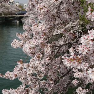 琵琶湖疎水の花盛り