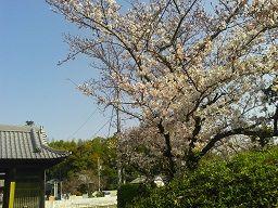 延命寺の桜