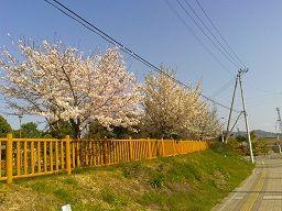 新都市公園の桜・・・