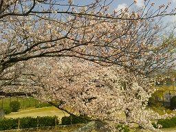 乃万公園の桜