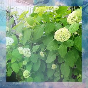 [あじさいと]雨ですねアジサイが咲き始めました。これはアナベル。アフロサイズのて...