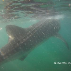 ☆ジンベイザメと泳ぐ セブ親子留学⑦