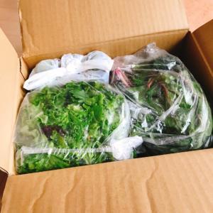 もりもり野菜が届いた!