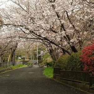 桜咲く🌸🌸🌸