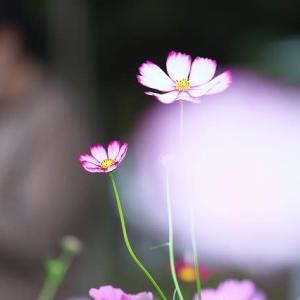 秋桜@浜名湖ガーデンパーク