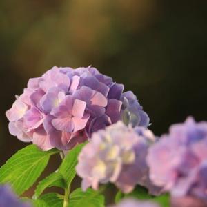 紫陽花の花が咲くころ・・・