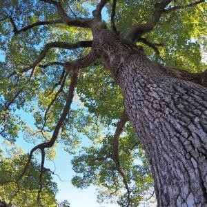 大きな木を見上げて(横須賀線)