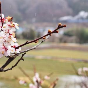 雨に打たれる桃と白煙(上越線D51)