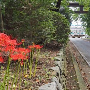 寒川神社の鳥居近くに咲く彼岸花(相模線)