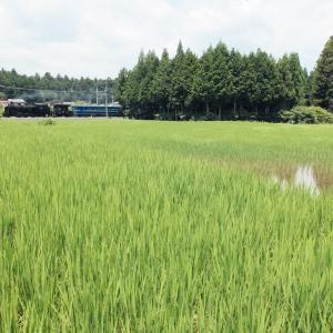すくすく育つ田んぼ(東武鉄道C11)