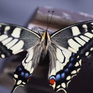 アゲハ蝶2020