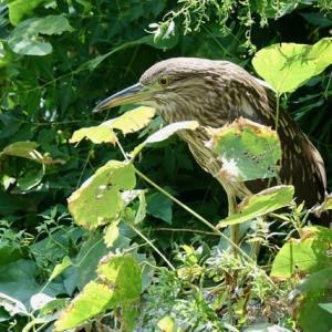 鳥類園「下の池」にて・・・ホシゴイ、サンコウチョウなど