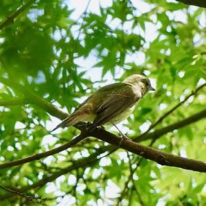 夏鳥、立ち寄り・・・キビタキ雌