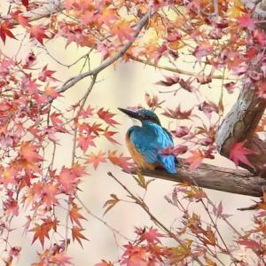紅葉の中で一休み・カワセミ
