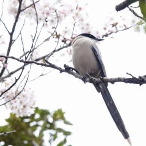名残の桜とオナガ