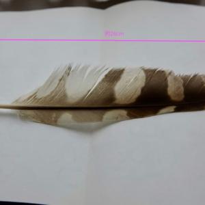 アオバズクの羽根かな?