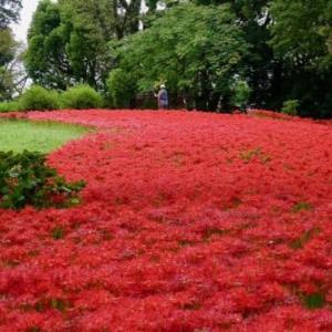 水元公園の彼岸花とアサザ
