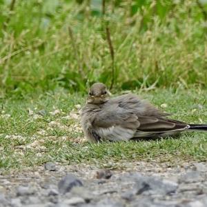 身近な野鳥の幼鳥・親鳥は子育て中
