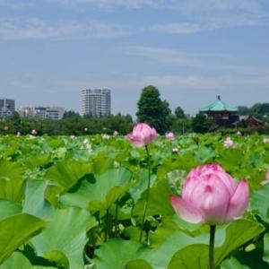 不忍池のハスの花